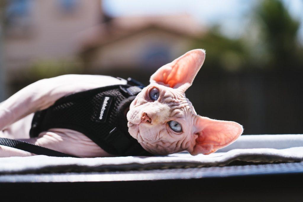 Sphynx - En hårløs ellergivenlig kat